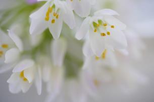 小さい白い花のアリュームのブーケの写真素材 [FYI04138491]