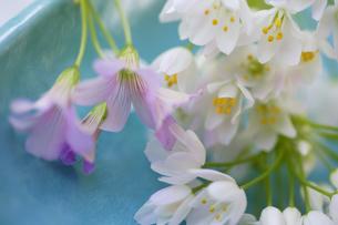 小さい花のアリュームとオキザリスのブーケの写真素材 [FYI04138492]