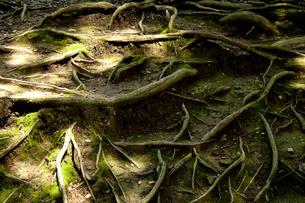木の根の写真素材 [FYI04139034]