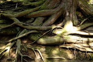 木の根の写真素材 [FYI04139035]