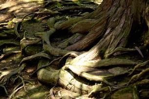 木の根の写真素材 [FYI04139036]