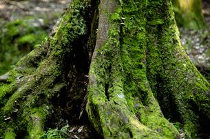 木の根と苔の写真素材 [FYI04139080]