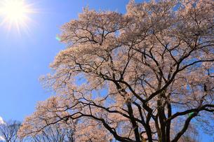 鉢形城の桜 氏邦桜の写真素材 [FYI04140595]