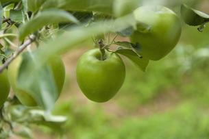 りんごの写真素材 [FYI04140949]