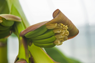 バナナの写真素材 [FYI04140950]