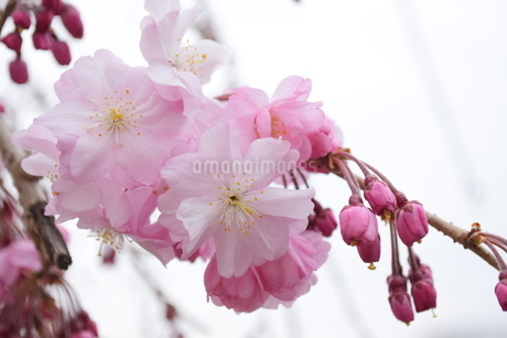 桜の写真素材 [FYI04141162]