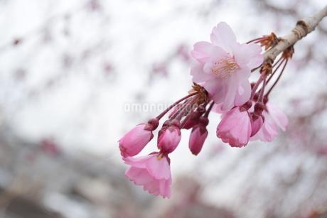 桜の写真素材 [FYI04141165]