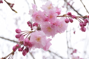桜の写真素材 [FYI04141166]