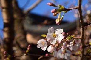 桜の写真素材 [FYI04141172]
