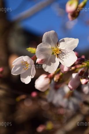 桜の写真素材 [FYI04141174]