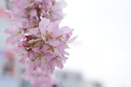 桜の写真素材 [FYI04141178]