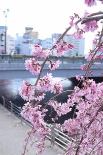 桜の写真素材 [FYI04141182]