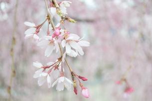 桜の写真素材 [FYI04141183]