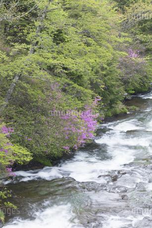 トウゴクミツバツツジ咲く竜頭の滝の写真素材 [FYI04141455]