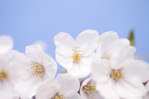 サクラの花の写真素材 [FYI04141936]