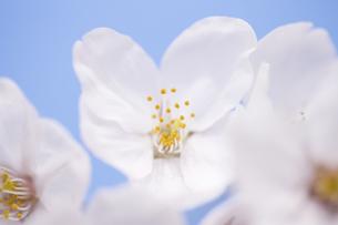 サクラの花の写真素材 [FYI04141937]