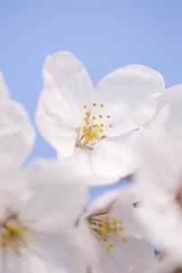 サクラの花の写真素材 [FYI04141938]