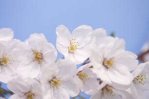 サクラの花の写真素材 [FYI04141939]