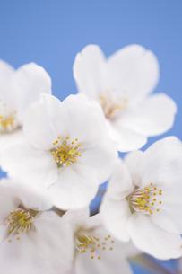 サクラの花の写真素材 [FYI04141940]