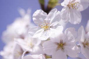 サクラの花の写真素材 [FYI04141956]