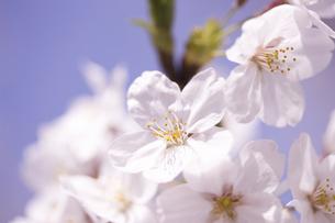サクラの花の写真素材 [FYI04141957]