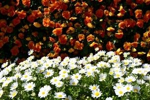 大阪,長居植物園内,ノースポールとビオラの花の写真素材 [FYI04142130]