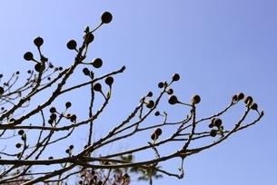 大阪,長居植物園内,イヌビアの実の写真素材 [FYI04142248]