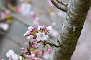 桜2の写真素材 [FYI04143197]