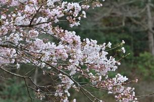 桜4の写真素材 [FYI04143199]