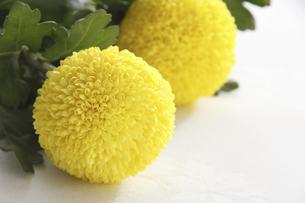 ポンポン菊の写真素材 [FYI04143397]