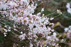 桜3の写真素材 [FYI04143464]