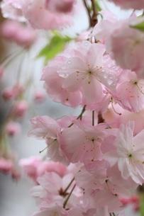 桜、雫の写真素材 [FYI04143781]