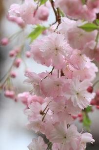 春の桜の写真素材 [FYI04143783]