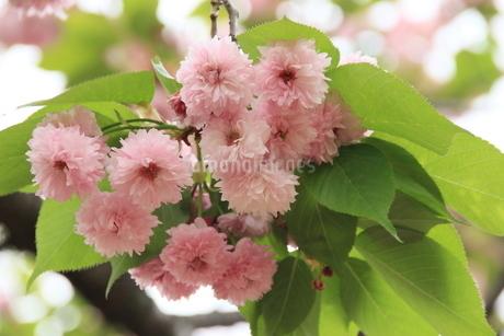 桜、兼六園菊桜の写真素材 [FYI04143785]