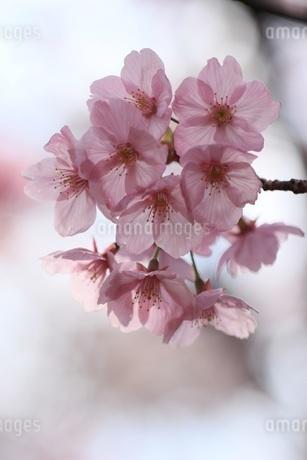 桜、横浜彼岸桜の写真素材 [FYI04143788]