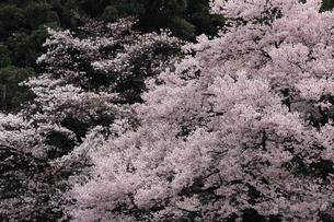 桜、高遠小彼岸桜満開の写真素材 [FYI04143794]