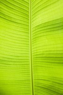 バナナの葉の写真素材 [FYI04144448]