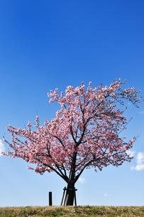 青空背景の河津桜の写真素材 [FYI04144774]