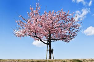 若い河津桜の写真素材 [FYI04144776]