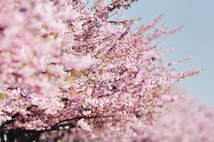 桜並木の写真素材 [FYI04144777]