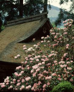 室生寺のホンシャクナゲの写真素材 [FYI04144880]