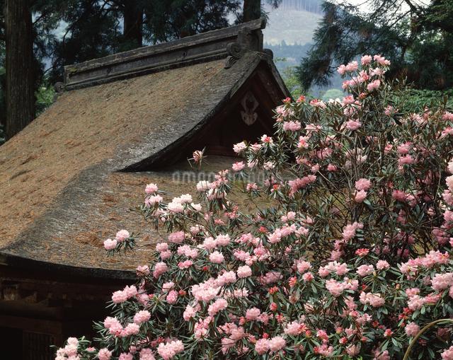 室生寺のホンシャクナゲの写真素材 [FYI04144881]