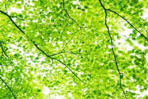 新緑のモミジの写真素材 [FYI04145206]