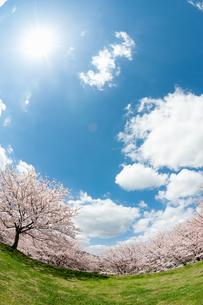 満開の桜と太陽と空の写真素材 [FYI04145209]