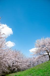 満開の桜と雲の写真素材 [FYI04145210]