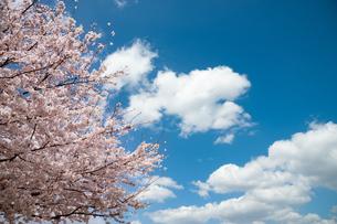 満開の桜と雲の写真素材 [FYI04145213]
