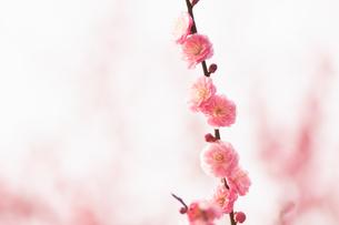 桃の花の写真素材 [FYI04145230]