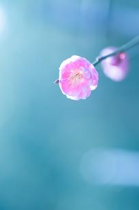 桃の花の写真素材 [FYI04145235]