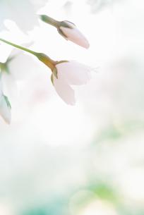 桜の花の写真素材 [FYI04145282]