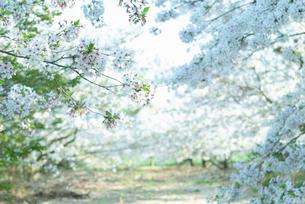 夕方の桜並木の写真素材 [FYI04145283]